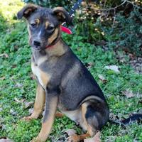 Adopt A Pet :: Addie - Starkville, MS