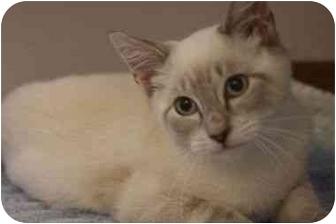 Siamese Kitten for adoption in Arlington, Virginia - Pietro