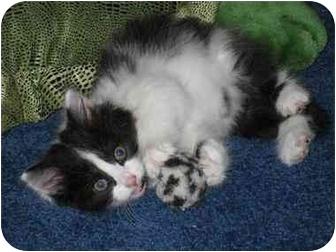 American Shorthair Kitten for adoption in Randolph, New Jersey - Oreo Sunshine & Fluffy