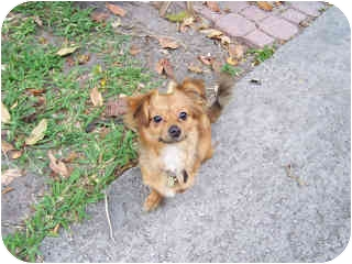 Pomeranian/Chihuahua Mix Puppy for adoption in Hollywood, Florida - RUDY
