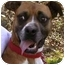 Photo 1 - Boxer Dog for adoption in Gainesville, Florida - Lucy