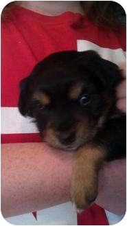 Papillon/Sheltie, Shetland Sheepdog Mix Puppy for adoption in New Baltimore, Michigan - Cub