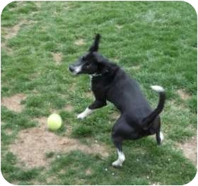 Border Collie/Beagle Mix Dog for adoption in Meridian, Idaho - Millie