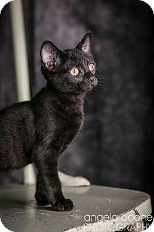 Domestic Shorthair Kitten for adoption in Eagan, Minnesota - Kit Kat