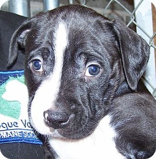 Labrador Retriever/American Staffordshire Terrier Mix Puppy for adoption in Grants Pass, Oregon - Alfalfa