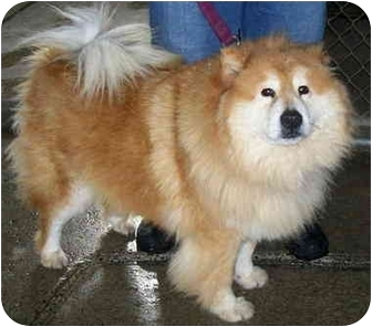 Chow Chow/Collie Mix Dog for adoption in Montreal, Quebec - Vicky