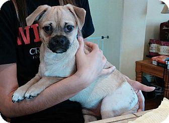 Pug Mix Puppy for adoption in Burbank, California - Luke