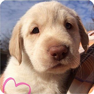 Labrador Retriever/Hound (Unknown Type) Mix Puppy for adoption in Westport, Connecticut - *Buttercup - PENDING