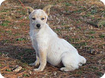 Australian Cattle Dog Puppy for adoption in Hartford, Connecticut - CONCHO