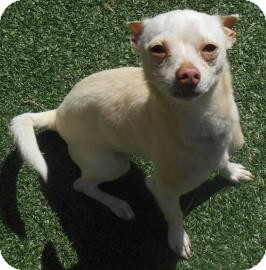 Chihuahua Mix Dog for adoption in Lewisville, Texas - Daz