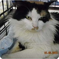 Adopt A Pet :: Mr. Calico! - Riverside, RI