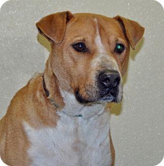 Pit Bull Terrier Mix Dog for adoption in Port Washington, New York - Midas