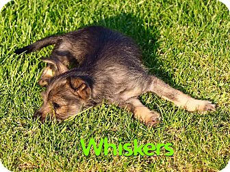 Glen of Imaal Terrier/Chihuahua Mix Puppy for adoption in Eugene, Oregon - Whiskers
