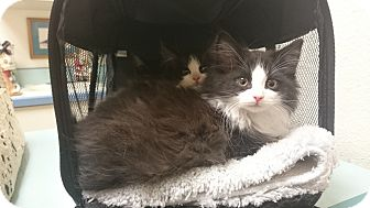 Domestic Longhair Kitten for adoption in INDIANAPOLIS, Indiana - Wyatt