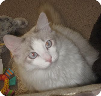 Domestic Mediumhair Cat for adoption in North Highlands, California - Witchypoo