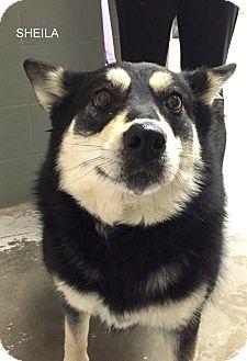 Siberian Husky Mix Dog for adoption in Hibbing, Minnesota - Sheila