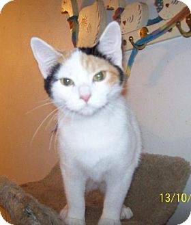 Domestic Shorthair Cat for adoption in Sparta, Illinois - Shugar Pie
