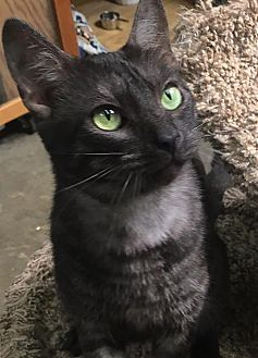 Domestic Shorthair Cat for adoption in Los Angeles, California - Electra