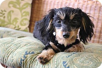 Dachshund/Poodle (Miniature) Mix Puppy for adoption in Southington, Connecticut - Ariel