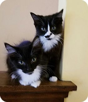 Domestic Mediumhair Kitten for adoption in Cleveland, Ohio - LuLu & Zoey