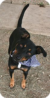 Miniature Pinscher/Terrier (Unknown Type, Medium) Mix Dog for adoption in Pilot Point, Texas - KOLOE