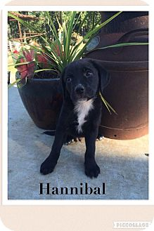 Labrador Retriever/Shepherd (Unknown Type) Mix Puppy for adoption in Cleveland, Oklahoma - Hannibal ADOPTION PENDING