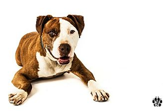 American Pit Bull Terrier Dog for adoption in Phoenix, Arizona - Mookey