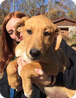 Collie/Labrador Retriever Mix Puppy for adoption in Beacon, New York - Piper
