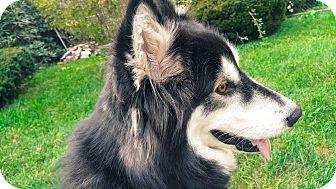 Alaskan Malamute Mix Dog for adoption in Augusta County, Virginia - Luna