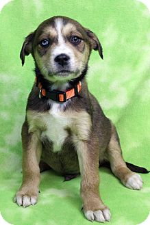 Retriever (Unknown Type)/Shepherd (Unknown Type) Mix Puppy for adoption in Westminster, Colorado - JAVIER