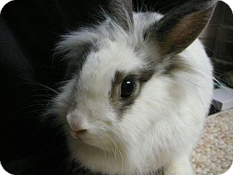 Lionhead Mix for adoption in Newport, Delaware - Moxie
