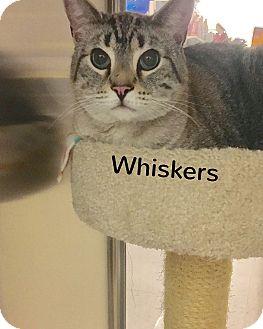 Siamese Cat for adoption in Foothill Ranch, California - Whiskers