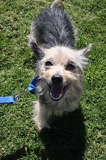 Yorkie, Yorkshire Terrier Mix Dog for adoption in Newport Beach, California - Aria