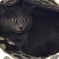 Adopt A Pet :: Piper (front declawed) - Warren, MI