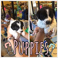 Adopt A Pet :: Puppies - Brownsville, TX