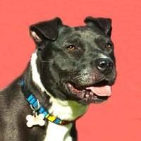 Adopt A Pet :: Pepper *Foster* - Glen Allen, VA