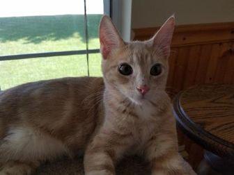 Domestic Shorthair/Domestic Shorthair Mix Cat for adoption in Carson City, Nevada - Quinn