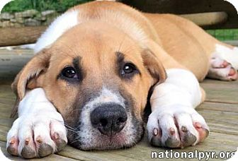 Great Pyrenees Mix Puppy for adoption in Beacon, New York - Laurel in NY - new pup!