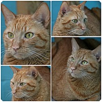 Adopt A Pet :: Marv - Forked River, NJ