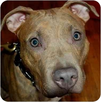 American Pit Bull Terrier Puppy for adoption in Chicago, Illinois - Althea