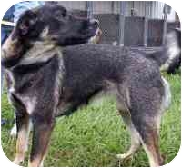 Golden Retriever/Shepherd (Unknown Type) Mix Dog for adoption in Elwood, Illinois - Goldie - XX URGENT