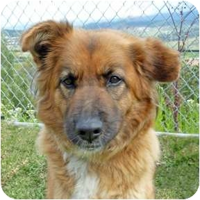 Chow Chow Mix Dog for adoption in San Clemente, California - KELSEY