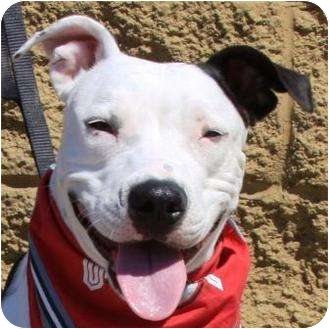 American Pit Bull Terrier Mix Dog for adoption in Gilbert, Arizona - Sweetie