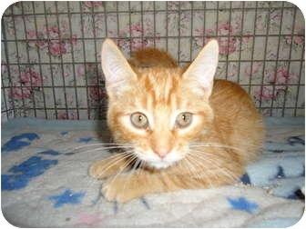 Domestic Shorthair Cat for adoption in Turlock, California - 0914-1122