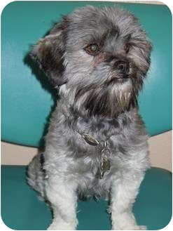 Shih Tzu/Schnauzer (Miniature) Mix Dog for adoption in Meridian, Idaho - Sunny