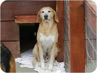 Redbone Coonhound/Labrador Retriever Mix Dog for adoption in Lawrenceburg, Tennessee - Rusty