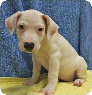 Terrier (Unknown Type, Medium)/Labrador Retriever Mix Puppy for adoption in Houston, Texas - Caspernia