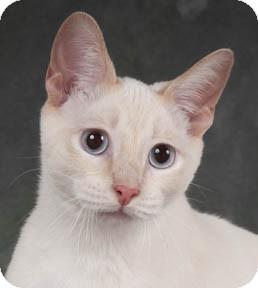 Siamese Cat for adoption in Chicago, Illinois - Olivier