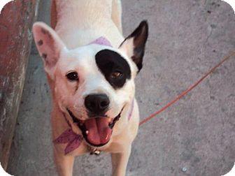 Bull Terrier/Terrier (Unknown Type, Medium) Mix Dog for adoption in San Diego, California - Gymena