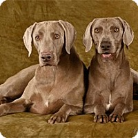 Adopt A Pet :: Zane - Las Vegas, NV